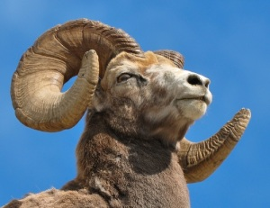 Bighorn-Ram-Animal