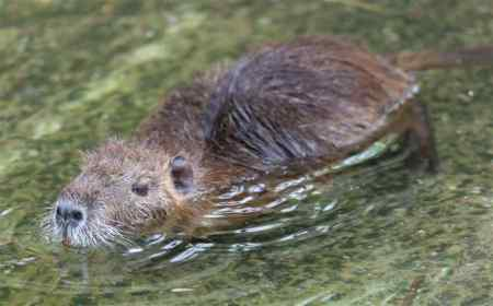 nutria-in-water